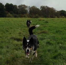Dogs running back on a recall