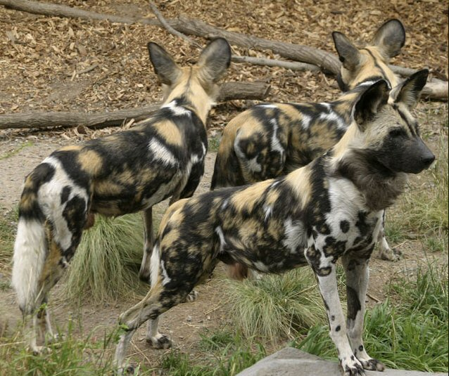 Covid 19 and the Painted Dogs of Africa